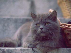 La raza de gato persa gris