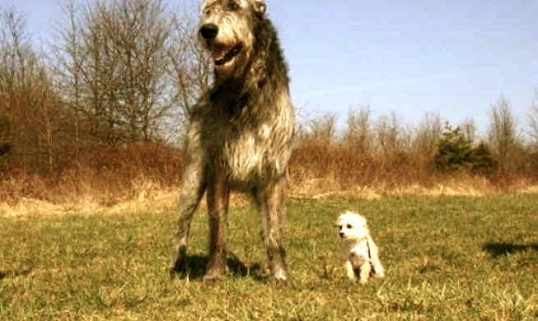 La raza de perro lebrel irlandés