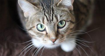 La sarna en gatos