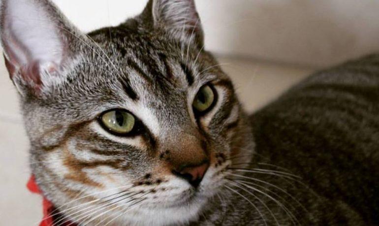Lo más importante sobre la neumonía en gatos