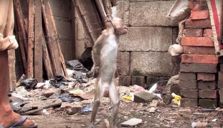 Los espectáculos de monos en Indonesia una tapadera de maltrato