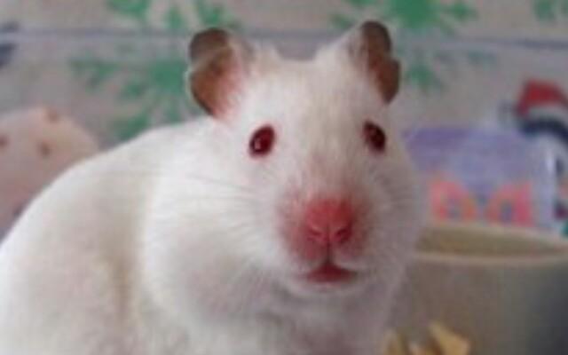 Los ojos del hámster albino