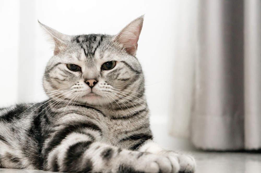 Origen de la raza de gato American shorthair