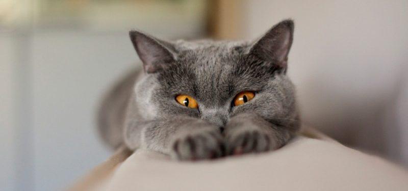 Origen de la raza de gato Chartreux