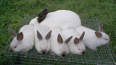 Origen de los conejos californianos