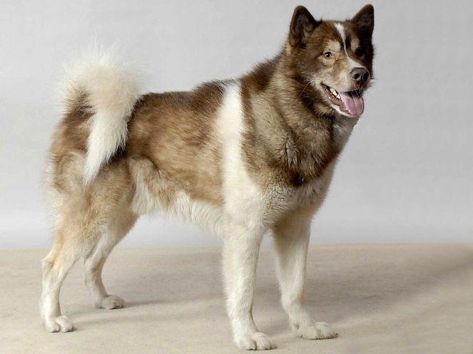 Origen del perro de Groenlandia
