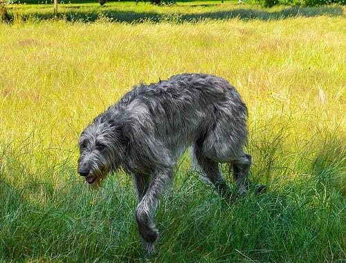 Origen del perro lebrel irlandés