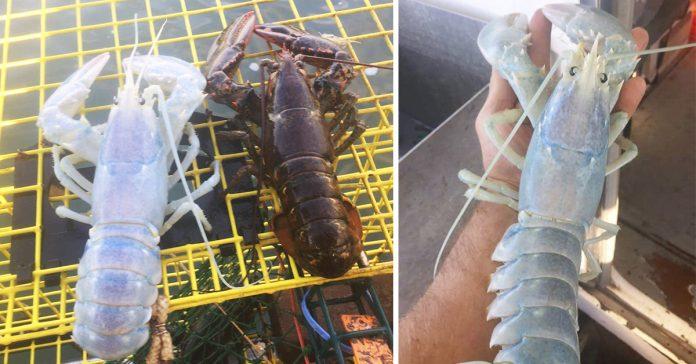 Pescadores capturan una langosta transparente