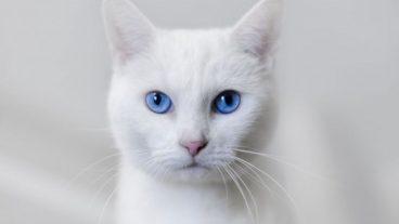 Por qué es frecuente la sordera en gatos blancos