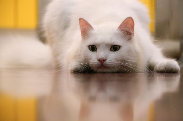 Por qué es genética la sordera en gatos blancos