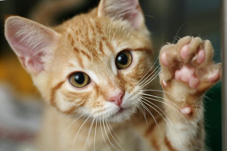 Qué es la artrosis en gatos