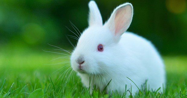 Qué es la mixomatosis en conejos