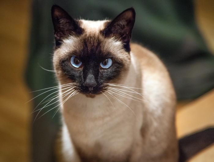 Qué es la neumonía en gatos
