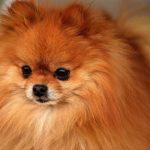 Síntomas de embarazo en perros