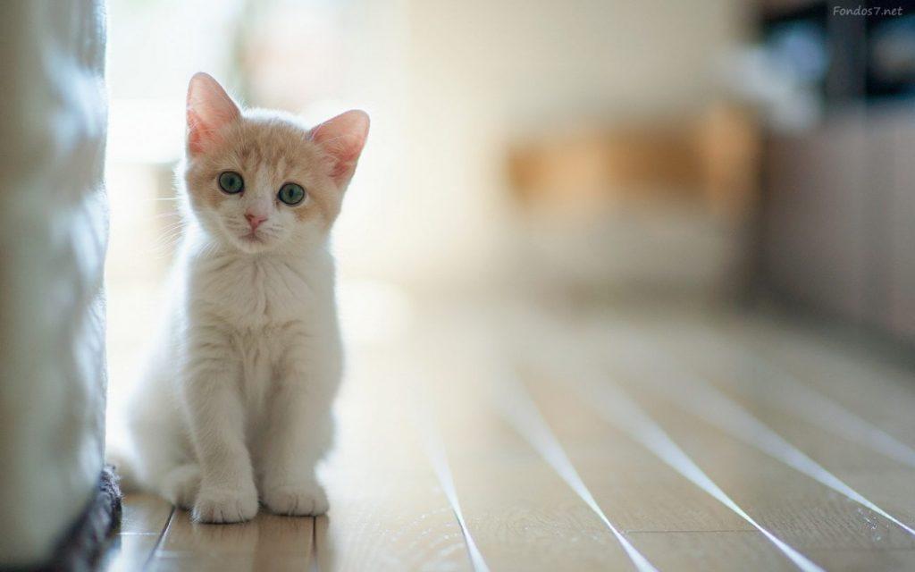 Síntomas de la artrosis en gatos