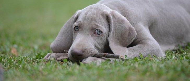 Síntomas de la babesiosis canina