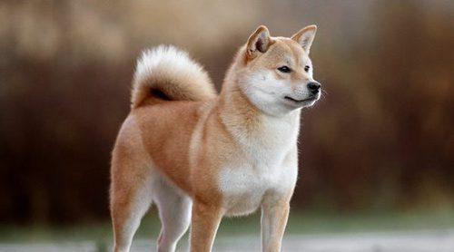 Síntomas de la bronquitis en perros
