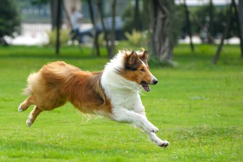 Síntomas de la cardiomiopatía dilatada canina