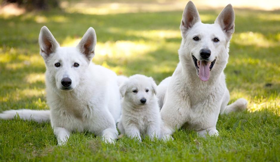 Síntomas de la coccidiosis en perros