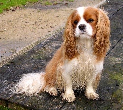 Síntomas de la demencia senil en perros