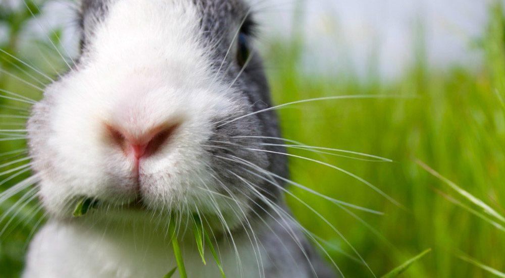 Síntomas de la hemorragia vírica en conejos