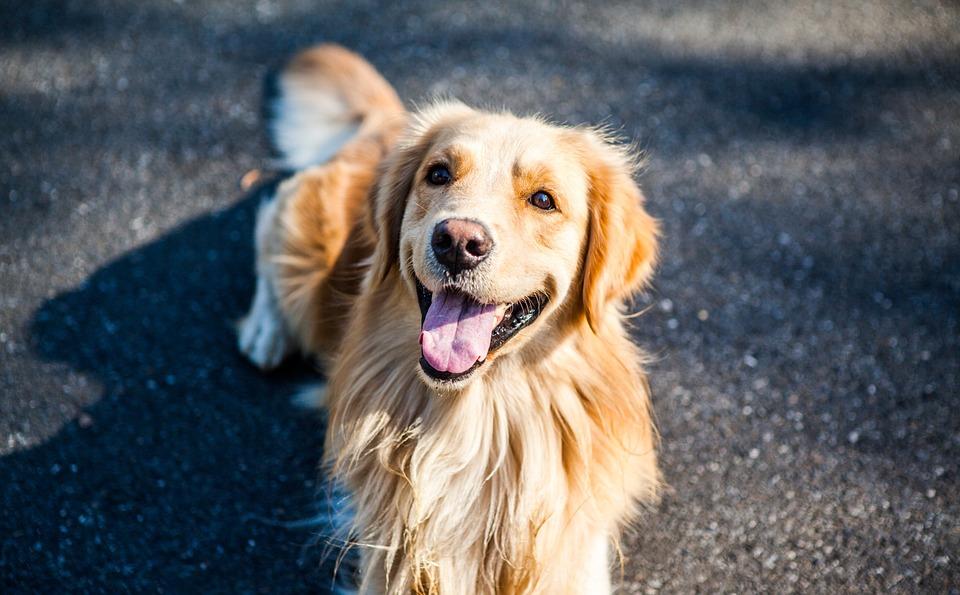 Síntomas de la hepatitis en perros