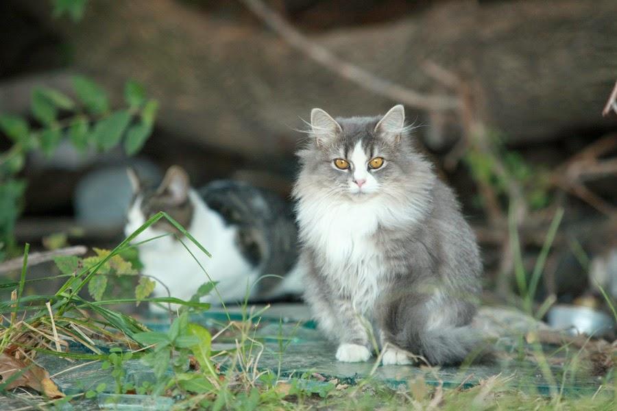 Síntomas de la neumonía en gatos
