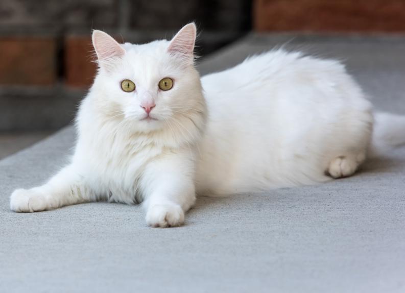 Síntomas de las convulsiones en gatos