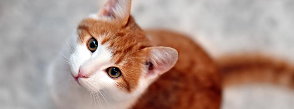 Síntomas de los cálculos renales en gatos