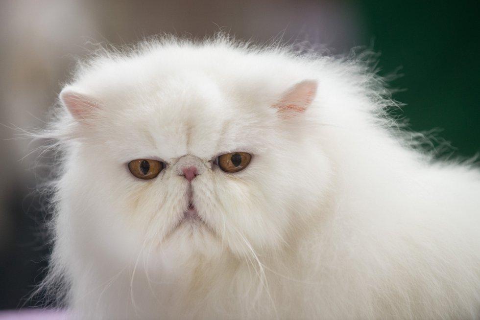 Síntomas de los cristales de estruvita en gatos