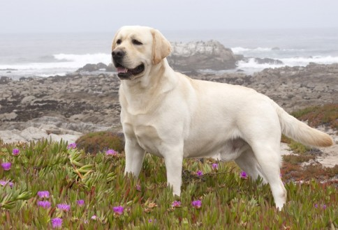 Síntomas de torsión de estómago en perros