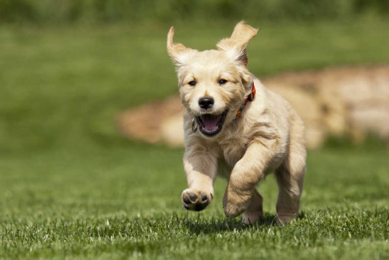 Síntomas del adenovirus en perros