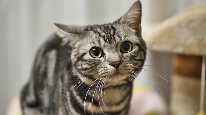 Salud de la raza de gato American shorthair