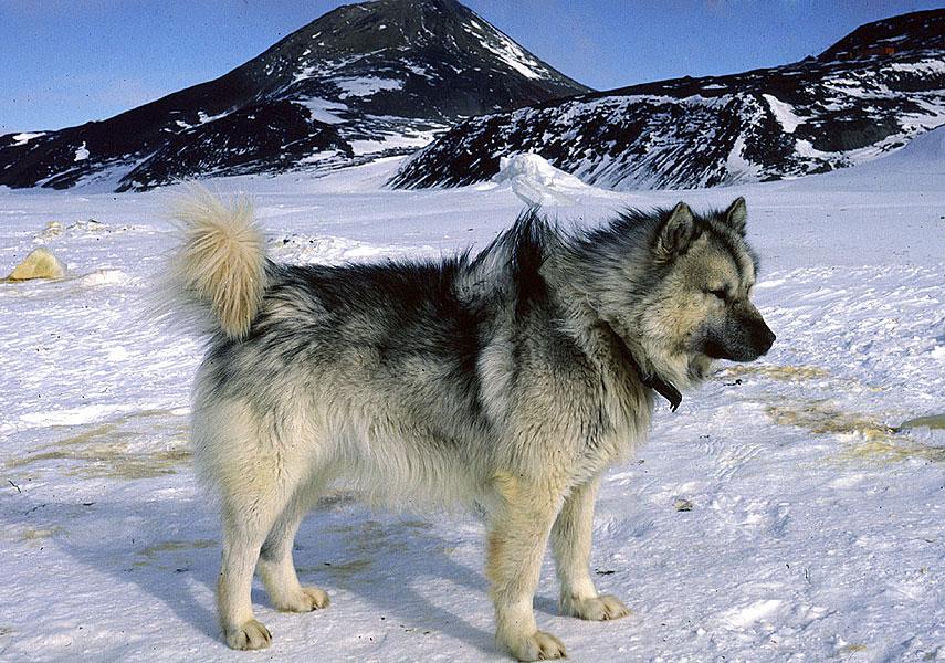 Salud del perro de Groenlandia