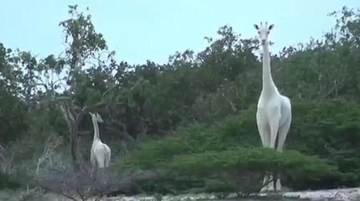 Se han filmado por primera vez ejemplares de jirafas blancas