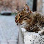 Sordera en gatos