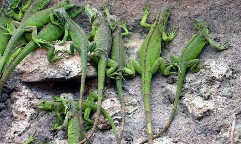 Te contamos cómo es la reproducción de las iguanas