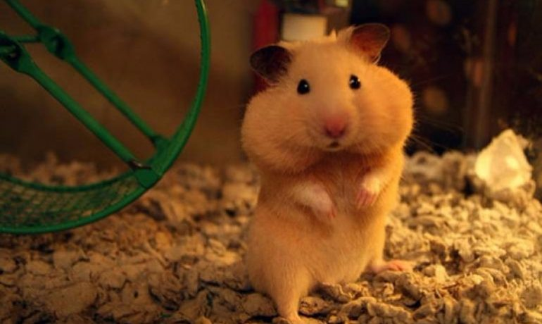 Resultado de imagen para hamster