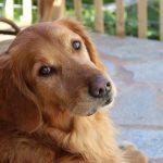 Te lo contamos todo sobre la demencia senil en perros