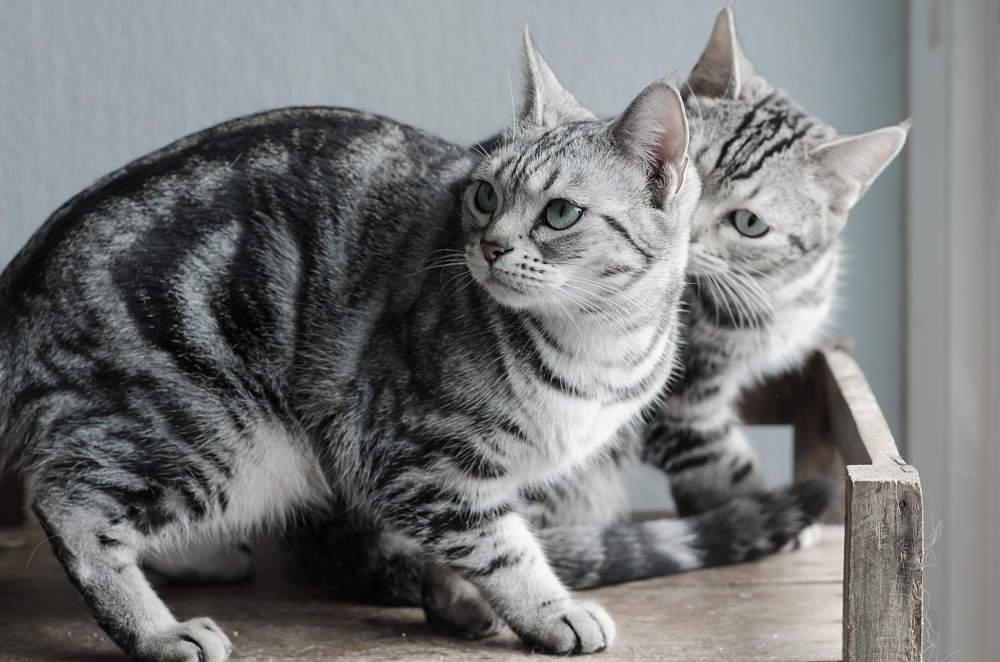 Temperamento de la raza de gato American shorthair