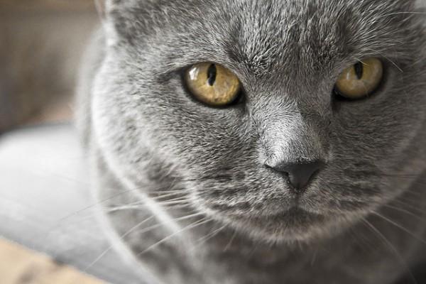 Temperamento de la raza de gato Chartreux