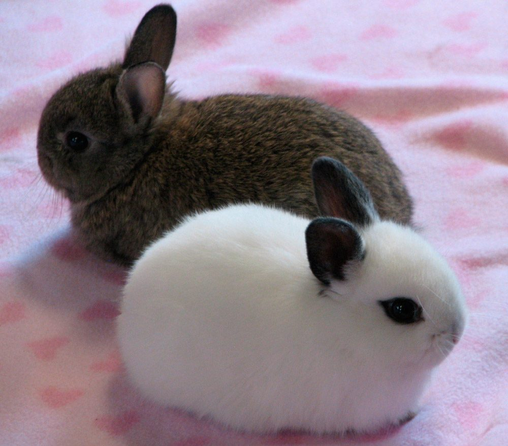Temperamento de los conejos californianos