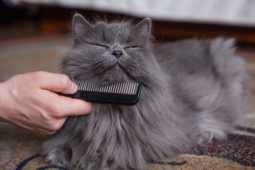 Temperamento del gato persa gris