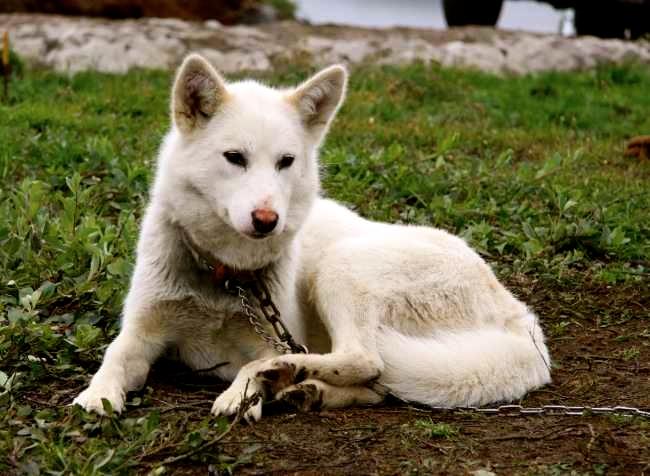 Temperamento del perro de Groenlandia
