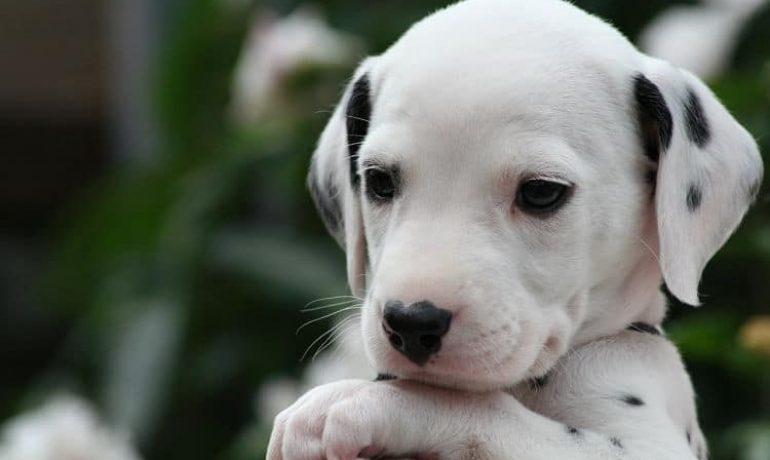 Tipos de hepatitis en perros que hay