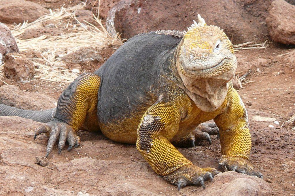 Tipos de iguana terrestre de las Galápagos