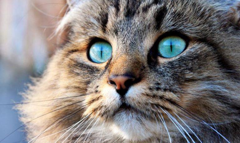 Todo lo que debes saber sobre la dieta ACBA para gatos