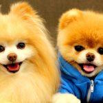 Todo sobre el tipo 1 de adenovirus en perros