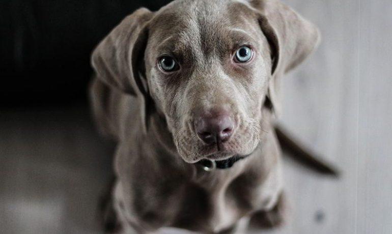 Todo sobre la babesiosis canina