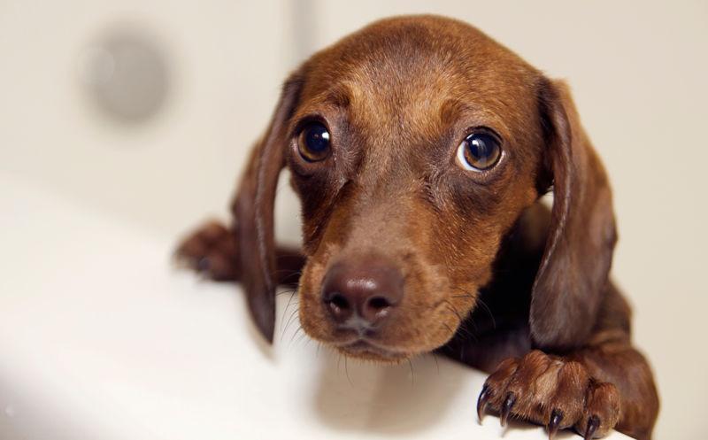 Tratamiento de la babesiosis canina